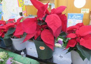 クリスマスの花といえば、ポインセチア