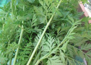 この葉、わかりますか。そう、あの野菜の葉です。